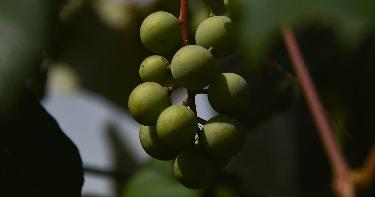 Closeup of olives at Antheia of Chelan