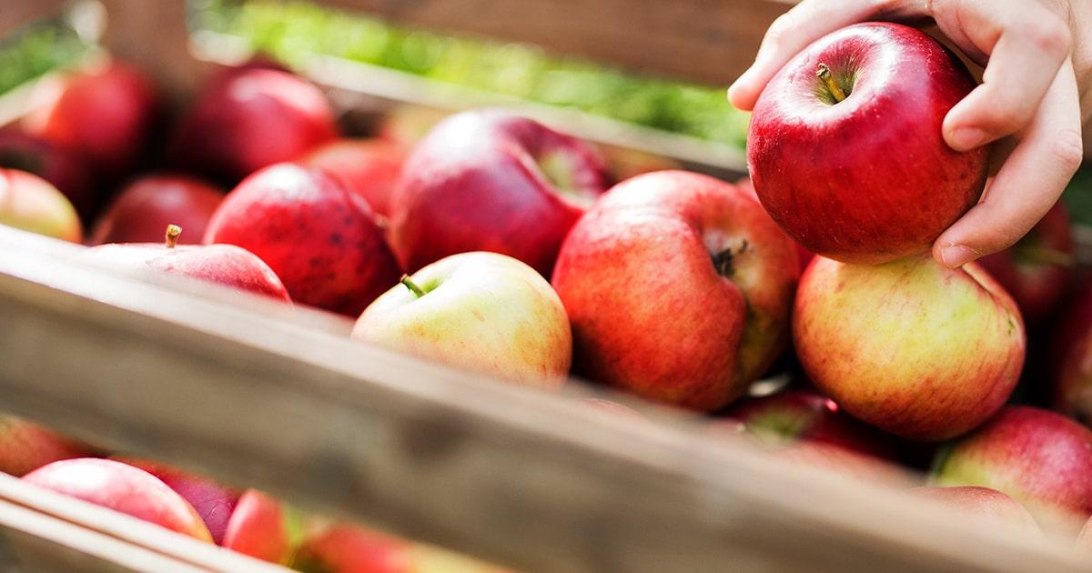 Closeup of apples at Chelan Valley Farms
