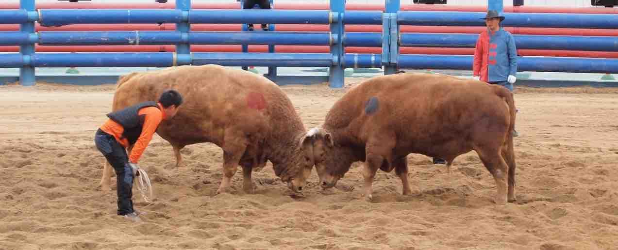 bulls butting heads