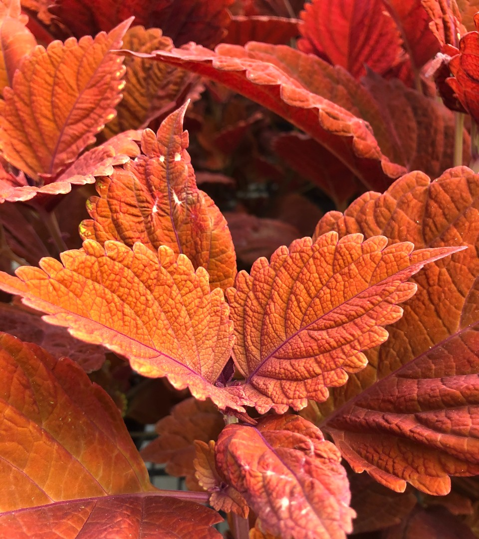 image of a red coleus plant
