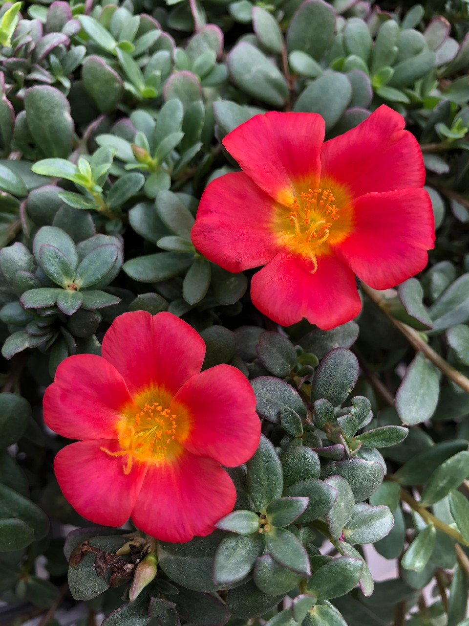 image of a red moss rose flower