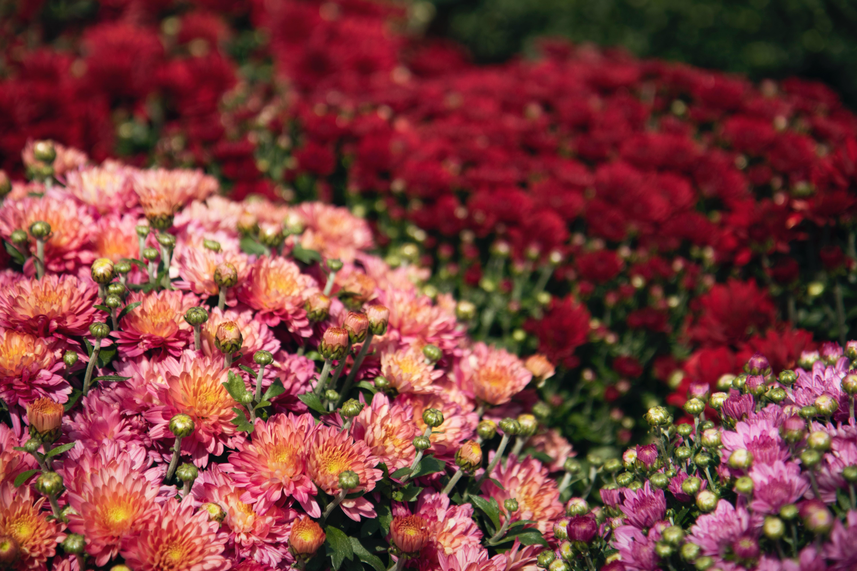 History of the Chrysanthemum