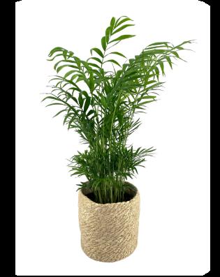 Chamaedorea Palm - Billie (KATPROOF)