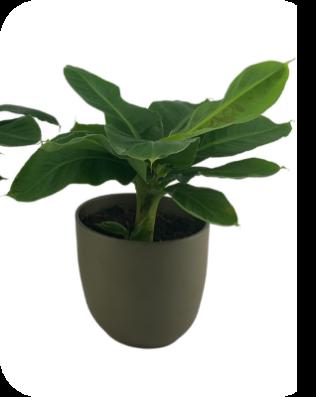 Musa Tropicana - Bananenplant (KATPROOF)