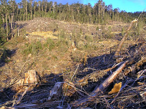 another view of the gully that used to have 145 leatherwoods in it